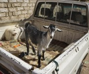 INSIGHT TV Commissions Provocative New Series and lsquo;Travel with a Goat and rsquo;